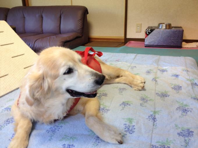 老犬ゴルゴ認知症が疑われています