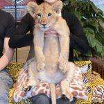 可愛い赤ちゃんライオンを抱っこ!ホントにホントにライオンだ!?富士サファリパーク!
